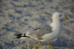 Seagull on the sand. The seagull on the sand is moving Royalty Free Stock Images