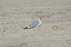 Seagull on the Sand. A seagull looking for food along the beach of Long Beach Island Royalty Free Stock Photo