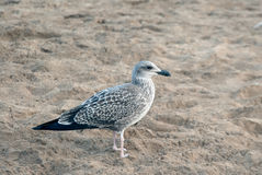 Seagull on the sand Stock Photo