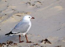 Seagull on sand. Seagull standing on sandy beach Royalty Free Stock Photo