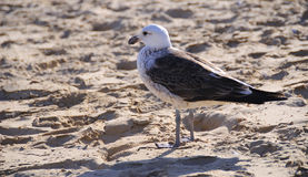 Seagull on sand Stock Images