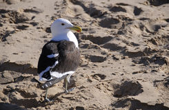 Seagull on sand Stock Photography