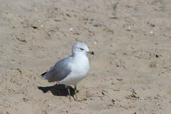 Seagull in the sand Royalty Free Stock Images