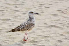 Seagull on Sand Stock Image