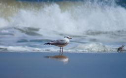 Seagull and Sandpiper at the Shoreline in the Outer Banks Stock Photos