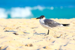 Seagull on sandy beach Royalty Free Stock Photography