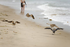 Seagull on sandy beach Royalty Free Stock Photo