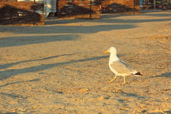 Seagull on a sandy beach at sunset Royalty Free Stock Images