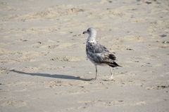 Seagull on a Sandy Beach. Seagull walking on the beach stock photo