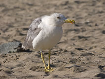 A Seagull on a sandy coastline Royalty Free Stock Photo