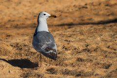 Seagull on the sandy shore. Close up stock photo
