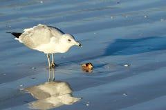 Seagull On Sarasota Beach Royalty Free Stock Images