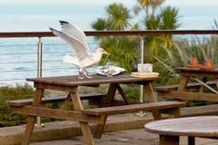 Seagull scavenging dla jedzenia obrazy stock