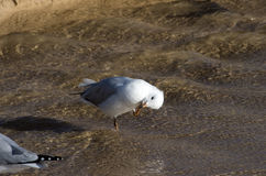 Seagull scratching its head Royalty Free Stock Photography