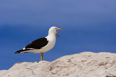 Seagull screaming Stock Images