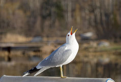 Seagull screaming in the air Stock Photography