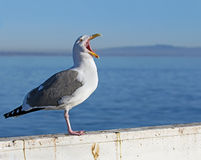 Seagull screaming on blue ocean background Royalty Free Stock Photography