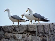 Seagull screaming. At Dubrovnik Walls stock image