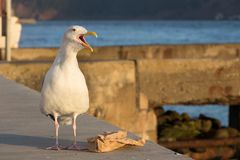 Seagull screaming with a trash paper. Stock Image