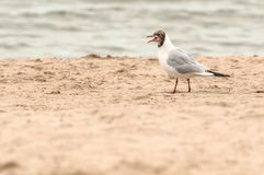 Seagull screaming while walking on the beach sand royalty free stock photography