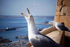 The seagull screams, with his head on the edge of the fortress near the sea town. Royalty Free Stock Photos