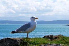 Seagull and sea Stock Photos