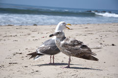 Seagull at the sea Stock Image
