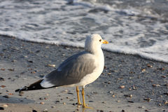 Seagull sea. The sea seagull costs on seacoast in waves of an easy surf Stock Image