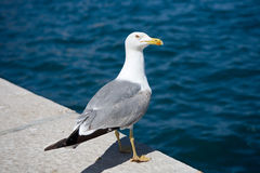 Seagull by the sea Royalty Free Stock Photos