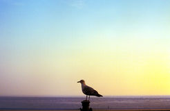 Seagull at sea Stock Photography