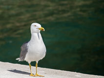 Seagull. A Seagull in the sea Royalty Free Stock Image