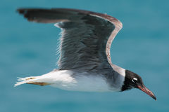 Seagull and the sea. Seagull  - flying over Red sea Stock Photos