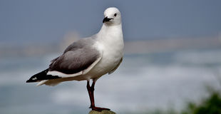 Seagull. With sea in the background Royalty Free Stock Images