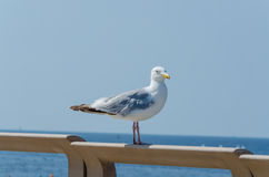 Seagull, sea, beach. A large seagull on a railing in the background of the beach and the sea Royalty Free Stock Photos