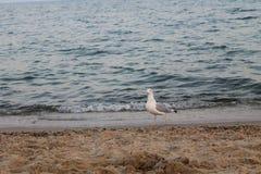 Seagull on the sea beach Stock Photo