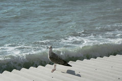 Seagull sea bird sitting Royalty Free Stock Images