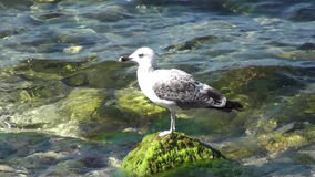Seagull In The Sea HD stock footage