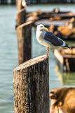 Seagull and Sea lions at Pier 39 San Francisco, California. Seagull and Sea lions basking in the sun at Pier 39 San Francisco, California Royalty Free Stock Photos