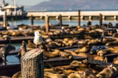 Seagull and Sea lions at Pier 39 San Francisco, California Royalty Free Stock Photo