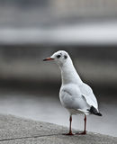 Seagull  by the sea/ocean. Seagull Stock Images