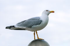 Seagull by the sea Stock Photo