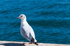 Seagull at Sea Stock Images