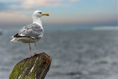 Seagull by the sea, portrait. Stock Photo