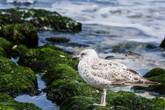 SEAGULL AT SEA Royalty Free Stock Image