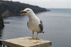 Seagull at sea. Profile of a standing seagull with sea and shore background Royalty Free Stock Photo