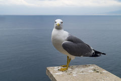 Seagull at sea. Profile of a standing seagull with sea and shore background Stock Images