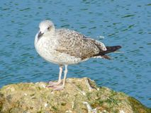 Seagull in the sea resting on a rock royalty free stock image