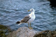 Seagull by the sea. Seagull on a rock by the sea. Spring day Royalty Free Stock Images