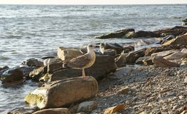Seagull. By the sea on the rocks Royalty Free Stock Images