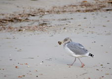 Seagull with sea shell in mouth Stock Photography